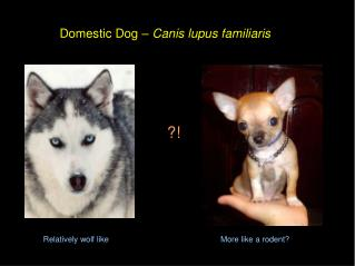 Domestic Dog   Canis lupus familiaris