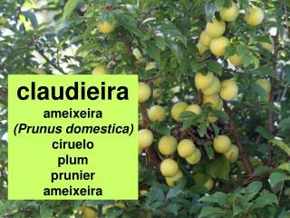 Claudieira ameixeira Prunus domestica ciruelo plum prunier ameixeira