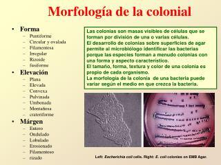 Morfolog a de la colonial