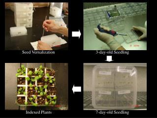 Seed Vernalization