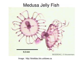 Image:  biodidac.bio.uottawa