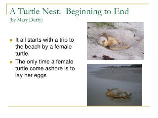 A Turtle Nest:  Beginning to End by Mary Duffy