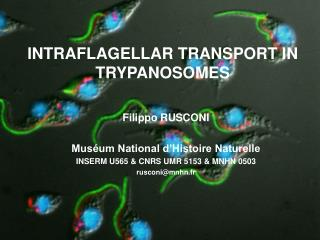 INTRAFLAGELLAR TRANSPORT IN TRYPANOSOMES