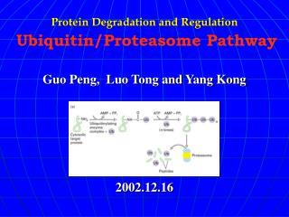 Protein Degradation and Regulation  Ubiquitin