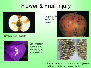 Flower  Fruit Injury