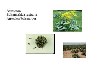 Asteraceae Balsamorhiza sagitatta Arrowleaf balsamroot
