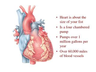 Heart is about the size of your fist  Is a four chambered pump Pumps over 1 million gallons per year Over 60,000 miles o