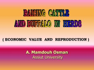 RAISING  CATTLE   AND BUFFALO  IN  HERDS
