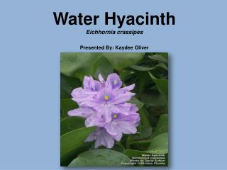 Water Hyacinth Eichhornia crassipes  Presented By: Kaydee Oliver