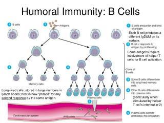 Humoral Immunity: B Cells