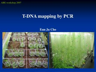 T-DNA mapping by PCR