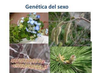 Gen tica del sexo