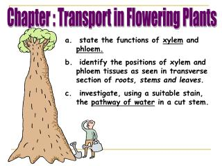 State the functions of xylem and phloem.  identify the positions of xylem and phloem tissues as seen in transverse secti