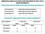HOW MANY IMMUNOGLOBULIN GENE SEGMENTS
