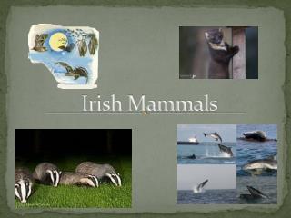 Irish Mammals