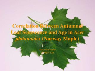 Correlation Between Autumnal Leaf Senescence and Age in Acer platanoides Norway Maple  Yana Radenska EDTEP 586