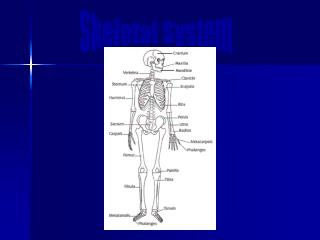 Chapter 5: The Skeletal System