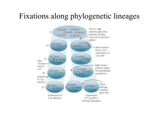 Fixations along phylogenetic lineages