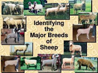 Identifying the Major Breeds of Sheep