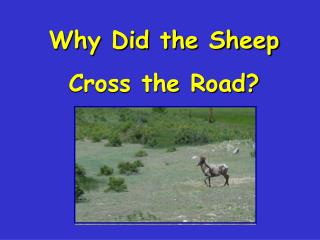 Why Did the SheepCross the Road