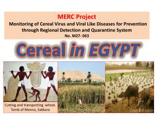 Cereal in EGYPT