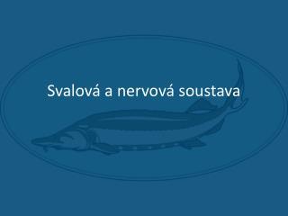 Svalov  a nervov  soustava