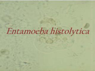 entamoeba histolytica slide - photo #42