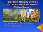 BIOLOGIA REPRODUCTIVA DE LA TAYA Caesalpinia spinosa Molina Kuntze