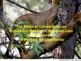 The Effect of Connectivity on Population Viability of Mountain Lion Puma concolor