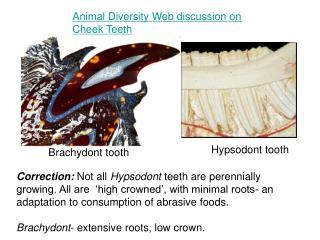 Brachydont tooth