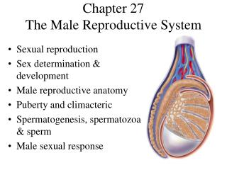 Chapter 27 The Male Reproductive System