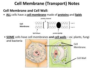 Cell Membrane Transport Notes  Cell Membrane and Cell Wall:   ALL cells have a cell membrane made of proteins and lipids