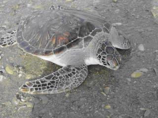 History of Sea Turtle Populations in the Sultanate of Oman