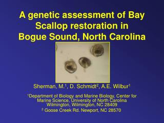 A genetic assessment of Bay Scallop restoration in  Bogue Sound, North Carolina