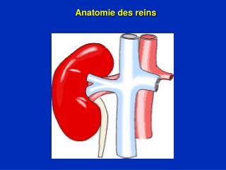 Anatomie des reins