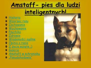 Amstaff- pies dla ludzi inteligentnych