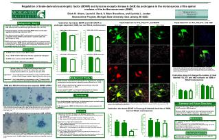 Regulation of brain-derived neurotrophic factor BDNF and tyrosine receptor kinase b trkB by androgens in the motoneurons