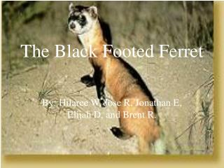 The Black Footed Ferret