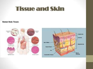 Tissue and Skin