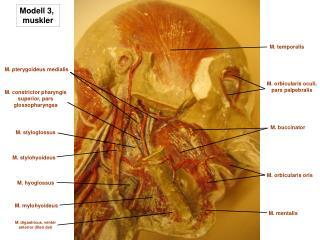 Modell 3,  muskler