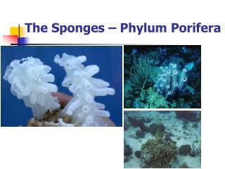 The Sponges   Phylum Porifera