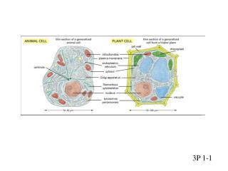 P1-1 Cell diagram