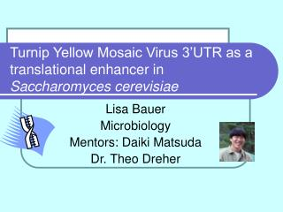 Turnip Yellow Mosaic Virus 3 UTR as a translational enhancer in  Saccharomyces cerevisiae