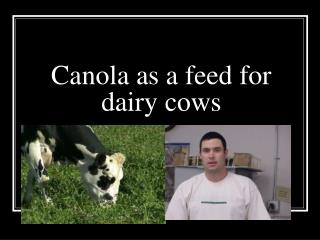 Canola as a feed for dairy cows