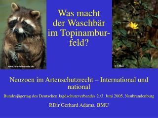 Was macht  der Waschb r   im Topinambur- feld   Neozoen im Artenschutzrecht   International und national Bundesj gertag
