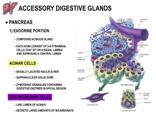 ACCESSORY DIGESTIVE GLANDS
