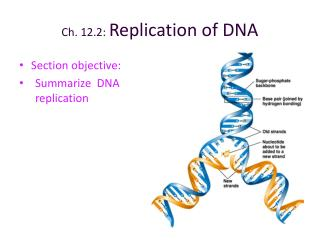 Ch. 12.2: Replication of DNA