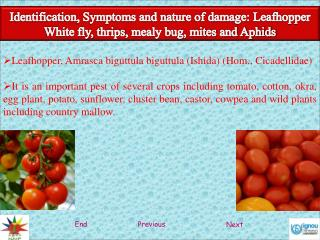 Identification, Symptoms and nature of damage: Leafhopper White fly, thrips, mealy bug, mites and Aphids