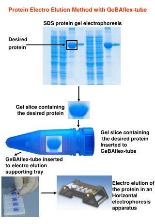 SDS protein gel electrophoresis