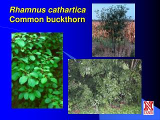Rhamnus cathartica Common buckthorn